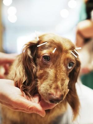 Chocolate, um cachorro da raça Dachshund, recebe tratamento com acupuntura em Tóquio, Japão (Foto: Adam Pretty/Getty Images)