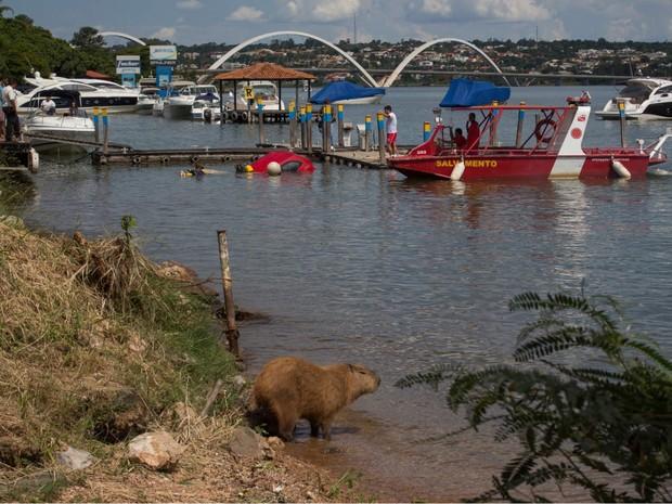 Capivara acompanha retirada de carro submerso no Lago Paranoá, no DF (Foto: Corpo de Bombeiros/Divulgação)