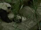 Panda Bei Bei dá seus primeiros passos em zoo de Washington