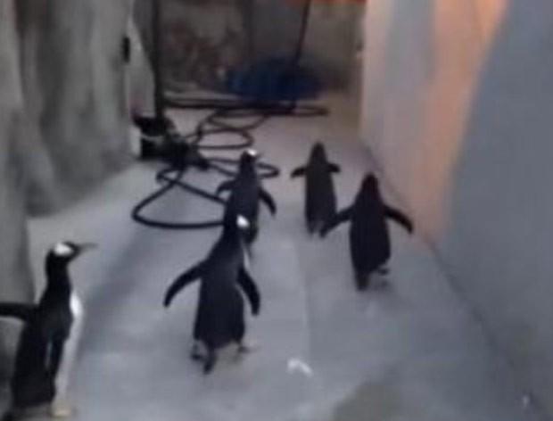 À la 'Madagascar', pinguins tentaram fugir de zoológico na Dinamarca (Foto: Reprodução/YouTube/zooodense)