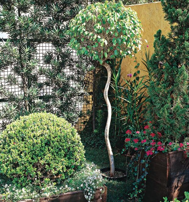 O fícus foi plantado em um vaso plástico, escondido na terra. A paisagista Gigi sugere que a árvore tenha suas raízes podadas a cada ano, no diâmetro do vaso. (Foto: Ricardo Novelli)