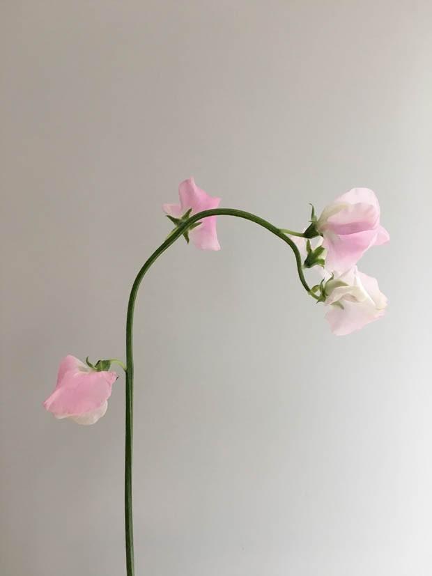 Ervilha Doce: saiba tudo sobre essa flor perfumada (Foto: Flo Atelier Botânico)