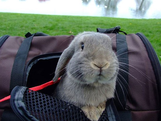 O coelho Jared dentro de uma bolsa de viagem (Foto: Korrasut Khopuangklang/Arquivo pessoal)