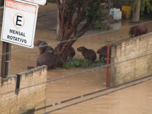 Capivaras procuraram local não alagado (Foto: Orlando Pereira/Divulgação)