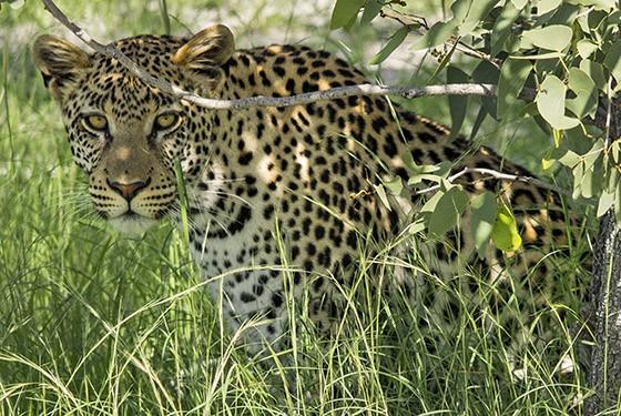 O leopardo continua concentrado nas impalas-de-cara-preta (Foto: © Haroldo Castro/ÉPOCA)