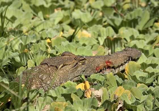 A espécie é agressiva e está no topo da cadeia alimentar  (Foto: © Haroldo Castro/ÉPOCA)