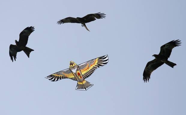 Pássaros foram flagrados nesta terça-feira (10) voando ano lado de uma pipa em formato de ave. (Foto: Amit Dave/Reuters)