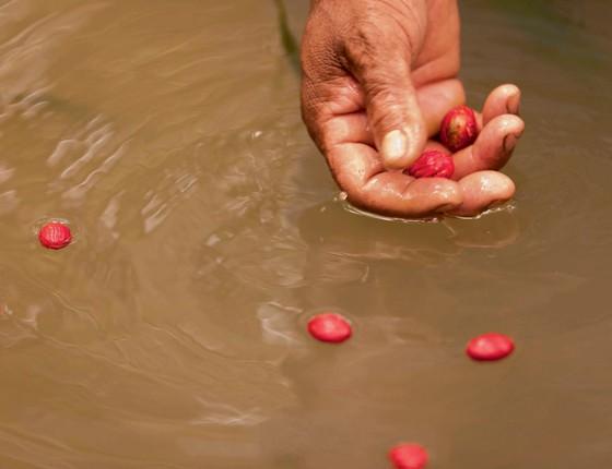 Fruto da Uucuba na Amazônia.Seu uso pela Natura valoriza manutenção as árvores  em pé (Foto: Marlos Bakker Fotografia LTDA)