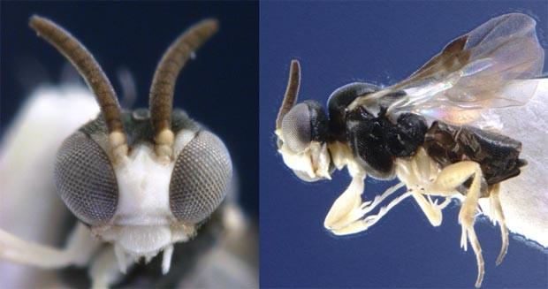 Vespa parasita (Foto: C. van Achterberg)