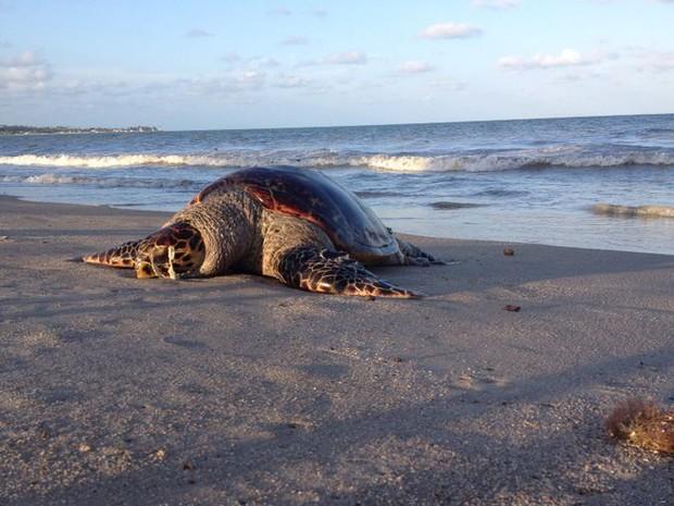 Uma tartaruga foi encontrada morta nas areias da praia de Pitimbu, litoral sul da Paraíba, no fim da tarde de quinta-feira (23). O animal estava sem os olhos e com as vísceras expostas, o que gerava muito mau cheiro no local. De acordo com banhistas que e (Foto: Renata Vasconcellos / G1)