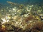 Recifes naturais de ostra pelo mundo estão quase extintos, diz estudo