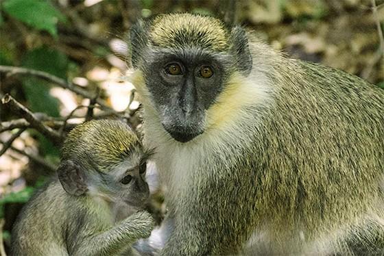 Mãe e filhote de macaco-verde na Reserva de Vida Selvagem, em Barbados  (Foto: © Haroldo Castro/Época)