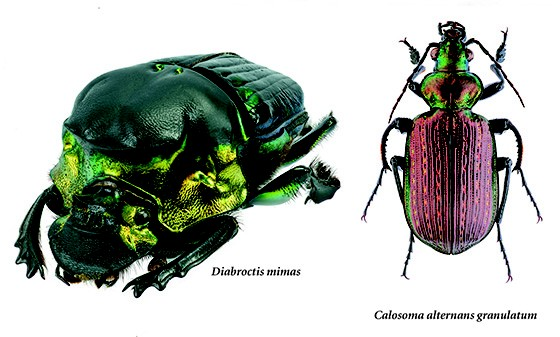 Duas espécies de besouros fotografados com a técnica stacking que deixa todo o inseto em foco  (Foto: © Haroldo Palo Jr)