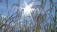 Produção de arroz será menor em MT