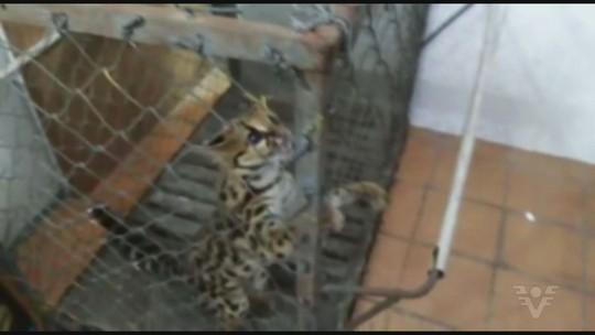 Filhote de jaguatirica é encontrado dentro de comércio em Registro; vídeo