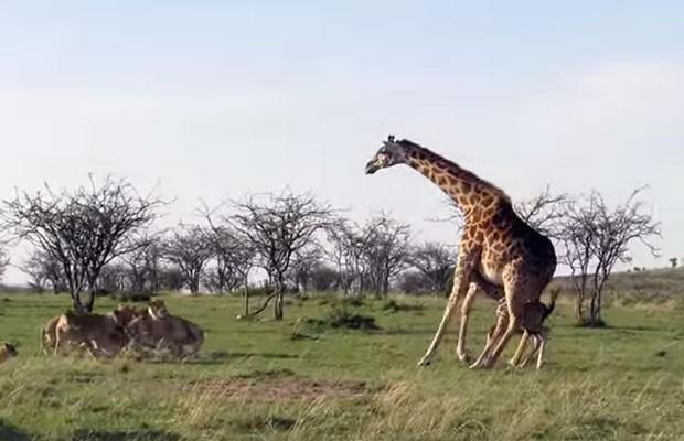 Girafa partiu para cima de leões para proteger seu filhote em campo de coservação no Quênia (Foto: Reprodução/YouTube/Kicheche Camps)