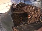 Canarinhos escolhem bota em telhado para ninho no interior de SP