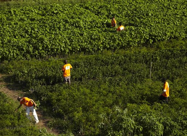 Presos cuidam de viveiro de mudas em penitenciária de Tremembé (SP) (Foto: Divulgação/Florestas Inteligentes)