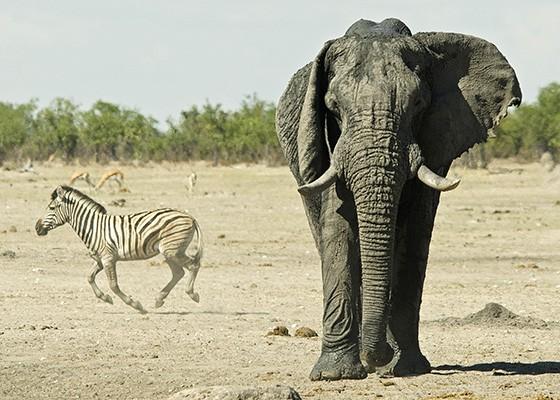 Um elefante macho caminha em direção a um ponto de água, enquanto uma zebra decide rapidamente sair de cena, Parque Nacional Etosha  (Foto: © Haroldo Castro/ÉPOCA)