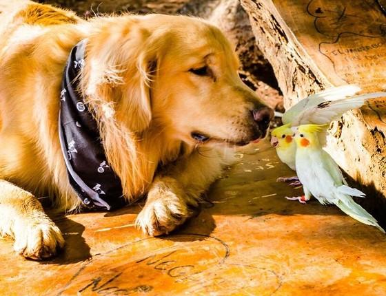 O golden retriever adora um carinho (Foto: Reprodução/Instagram)