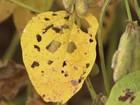 Município de MS lidera casos de ferrugem da soja no país