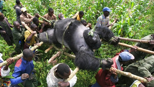 Resgate gorila1 (Foto: Virunga National Park/BBC)