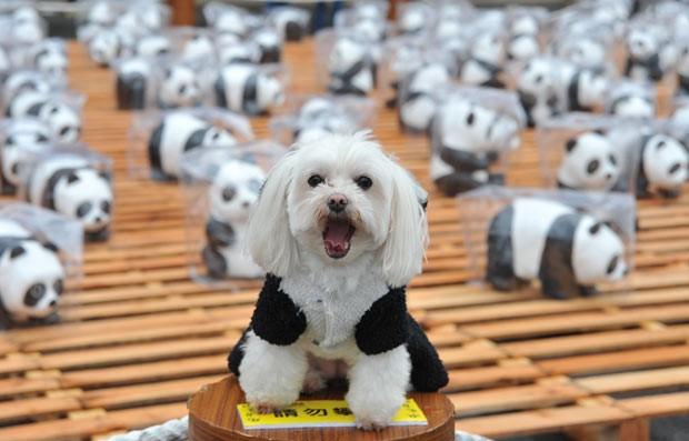 Um cachorro foi fantasiado de urso panda durante exposição chamada Pandas on Tour em Taipei (Foto: AFP)