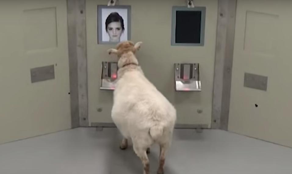 As ovelhas foram treinadas para identificar celebridades como Emma Watson e Obama (Foto: Reprodução/Youtube)