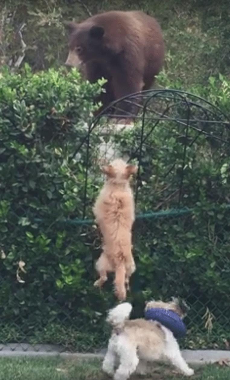 Cachorrinhos corajosos 'encaram' urso em casa na Califórnia (Foto: Christine Downs/Facebook)