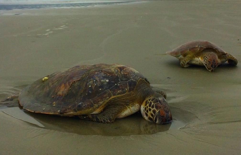 Tartarugas foram encontradas sem vida na Praia da Fazenda em Ubatuba (Foto: Peterson Grecco/TV Vanguarda)