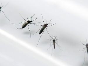 Há 'fortes indícios' de que zika vírus, transmitidos por mosquitos Aedes aegypti, tenha correção com aumento de casos de síndrome de Guillain-Barré  (Foto: AFP Photo/Patrice Coppee)