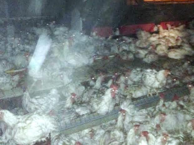 Funcionários disseram que seis mil frangos morrreram no incêndio na empresa. (Foto: Divulgação)