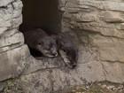 Zoo de Buffalo apresenta dois novos filhotes de lontra