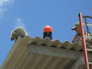 Cuandu estava em cima do telhado de um galpão em construção, em Pedras de Fogo (Foto: Waldir Pereira/Polícia Ambiental)
