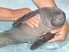 Filhote de peixe-boi é resgatado na Amazônia e recebe cuidados