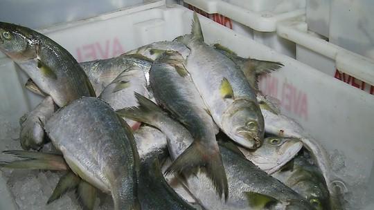 PF e Ibama apreendem mais de 15 mil kg de pescado em Rio Grande