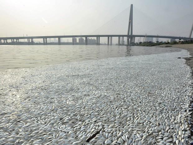 Peixes mortos se acumulam à beira do rio Haihe em Tianjin, China, a cerca de 6 km do local onde uma enorme explosão destruiu uma área industrial e deixou mortos. Autoridades não encontraram nível tóxico de cianeto na água e investigam a causa da morte (Foto: Reuters/Stringer)