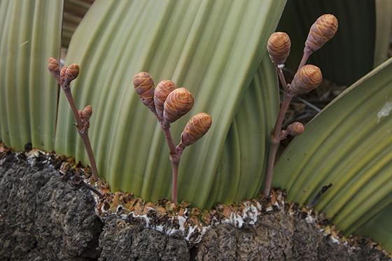 Caule de madeira, cones de flores e folha da Welwitschia mirabilis, uma aberração da natureza presente há mais de 150 milhões no planeta  (Foto: © Haroldo Castro/ÉPOCA)