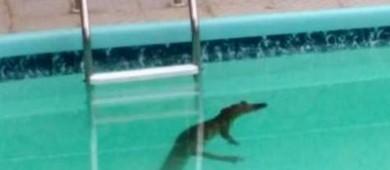 Cães dão sinal e morador dá de cara com jacaré em piscina de SC (Reprodução/RBS TV)