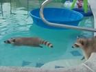 'Guaxinim nadador' vira hit ao entrar em piscina nos EUA