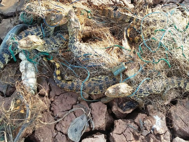 Jacarés estavam enroscados em rede (Foto: Divulgação / Corpo de Bombeiros)