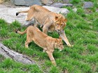 Leoa deixa tratadora gravemente ferida em ataque em zoo no Canadá