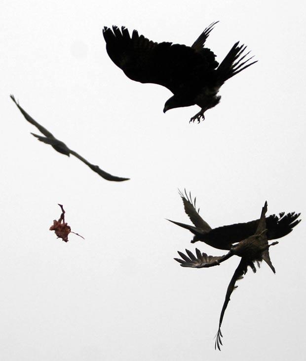 Aves foram flagradas disputando um pedaço de carne em pleno vooem Nova Déli, na Índia. O pedaço carne havia sido atirado por um homem (Foto: Mustafa Quraishi/AP)
