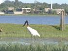 Símbolo do Pantanal, tuiuiú é visto na área urbana de Três Lagoas, MS