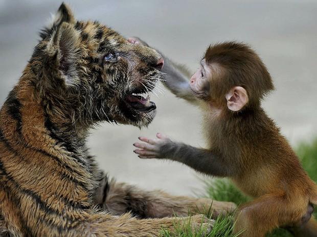 Tigre e macaco 2 (Foto: Reuters)