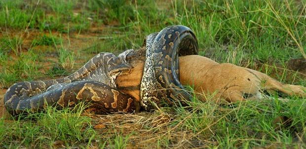 Uma foto divulgada em 2012 pela agência Caters mostra o momento em que uma cobra píton devora um filhote de gnu no Parque Kruger, na África do Sul (Foto: Caters)