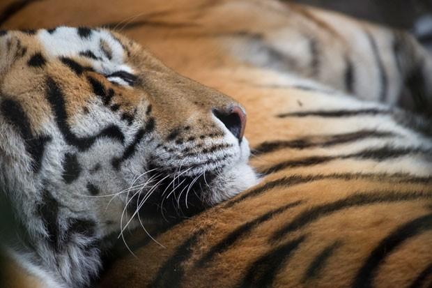 Tigre tira soneca no zoológico de Mulhouse, na França (Foto: Sebastien Bozon/AFP)