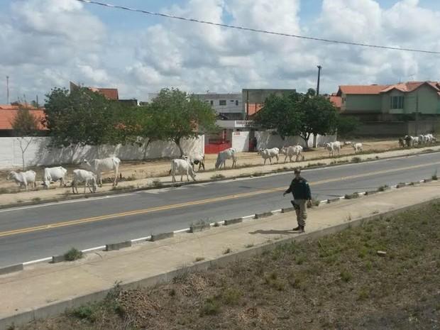 PRF apreendeu animais soltos na BR-230 e prendeu proprietário dos bichos, na Paraíba (Foto: Divulgação/PRF)