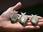 Estudo comprova que espécie de peixe ameaçada não corre risco