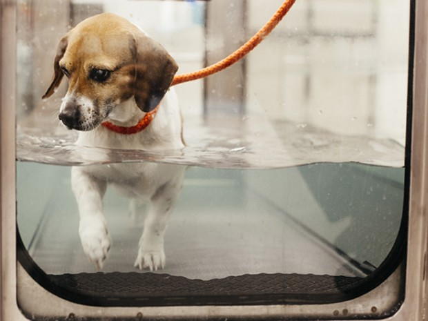 O cão Mabel perdeu 20 kg com ajuda de nutricionistas e especialistas em reabilitação canina (Foto: Shawn Poynter/The New York Times)